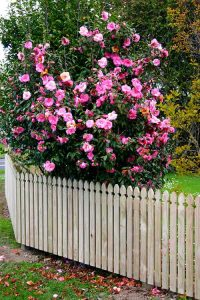 Classic-Picket-Fence